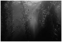 Giant Kelp underwater forest. Channel Islands National Park, California, USA. (black and white)