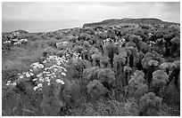 Giant Coreopsis and East Anacapa. Channel Islands National Park, California, USA. (black and white)