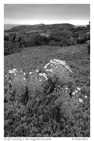 Giant Coreopsis and ice plant. Channel Islands National Park (black and white)
