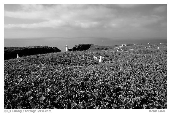 Ice plants and western seagulls, Anacapa. Channel Islands National Park (black and white)