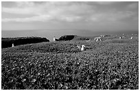 Ice plants and western seagulls, Anacapa. Channel Islands National Park, California, USA. (black and white)
