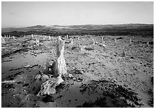 Caliche forest, San Miguel Island. Channel Islands National Park, California, USA. (black and white)
