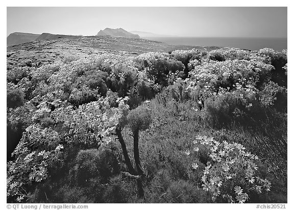 Coreopsis in bloom and Paintbrush in  spring, Anacapa Island. Channel Islands National Park (black and white)