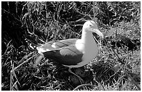 Western seagull. Channel Islands National Park, California, USA. (black and white)