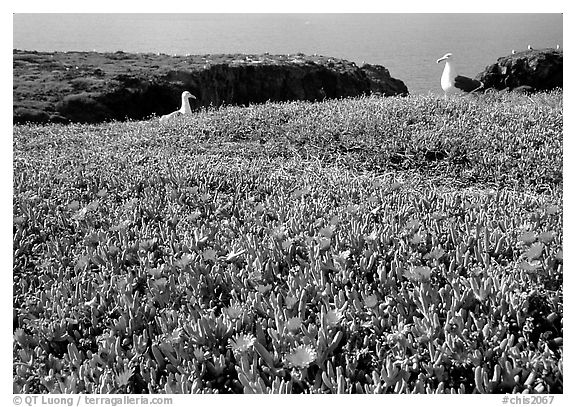 Western seagus and ice plants. Channel Islands National Park (black and white)