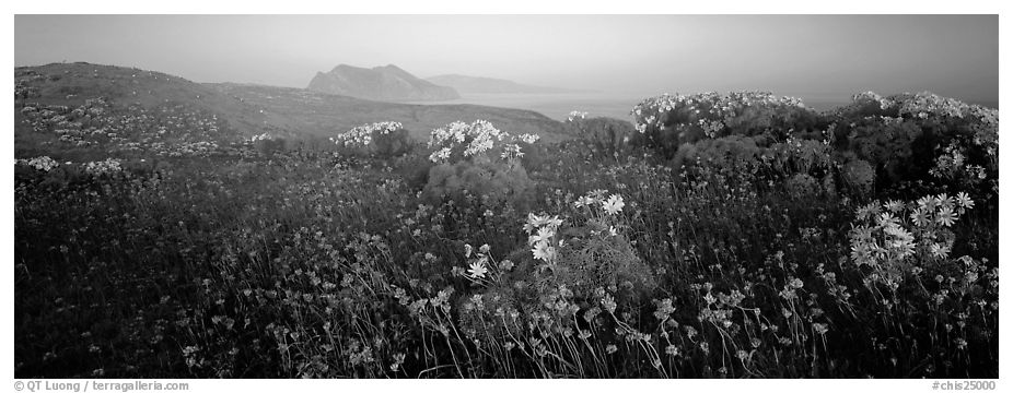 Wildflowers and early coastal mist, Anacapa Island. Channel Islands National Park (black and white)
