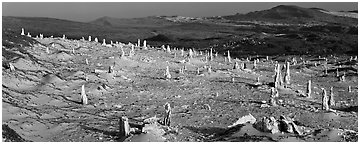 Rare caliche forest, San Miguel Island. Channel Islands National Park (Panoramic black and white)