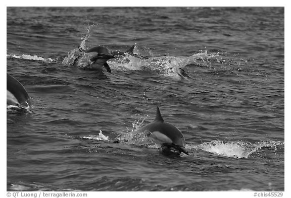Dolphins jumping out of ocean water. Channel Islands National Park (black and white)