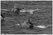 Dolphins jumping out of ocean water. Channel Islands National Park, California, USA. (black and white)