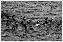Raft of sea lions in ocean. Channel Islands National Park, California, USA. (black and white)