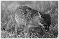 Critically endangered Coast Fox (Channel Islands Fox), Santa Cruz Island. Channel Islands National Park, California, USA. (black and white)