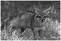 Island fox (Urocyon littoralis santacruzae), Santa Cruz Island. Channel Islands National Park ( black and white)