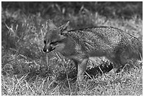 Short-Tailed Fox (Insular Gray Fox), Santa Cruz Island. Channel Islands National Park, California, USA. (black and white)