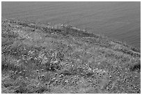 Wildflowers and wind-blown grasses on coastal bluff, Santa Cruz Island. Channel Islands National Park ( black and white)