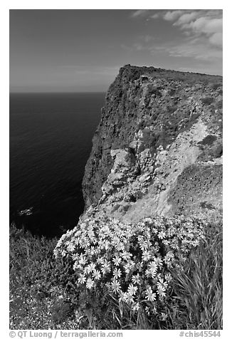 Coreopsis and cliff, Cavern Point, Santa Cruz Island. Channel Islands National Park (black and white)