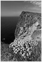 Coreopsis and cliff, Cavern Point, Santa Cruz Island. Channel Islands National Park, California, USA. (black and white)