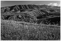 Mustard in bloom and interior hills, Santa Cruz Island. Channel Islands National Park, California, USA. (black and white)
