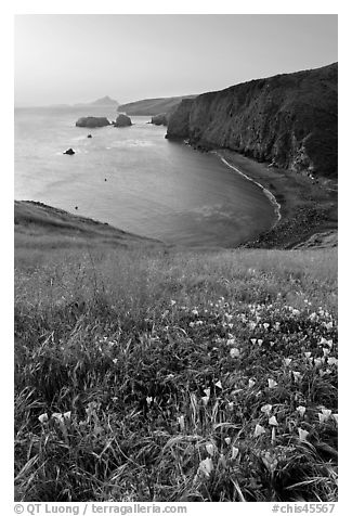 Wild Morning Glories and bay at sunrise, Scorpion Anchorage, Santa Cruz Island. Channel Islands National Park (black and white)