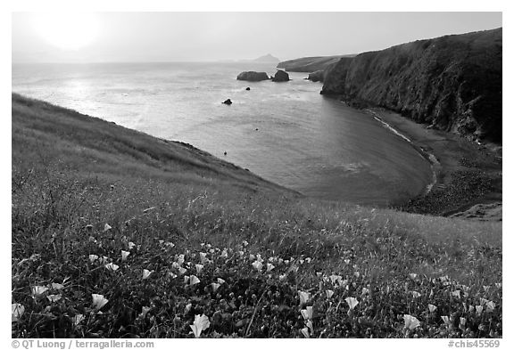 Wild Morning Glories and Scorpion Anchorage, sunrise, Santa Cruz Island. Channel Islands National Park (black and white)