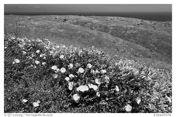 Wild Morning Glory flowers, hills, and ocean, Santa Cruz Island. Channel Islands National Park (black and white)