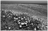 Wild Morning Glory flowers, hills, and ocean, Santa Cruz Island. Channel Islands National Park, California, USA. (black and white)