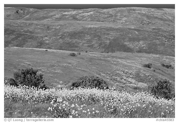 Mustard flowers and rolling hills, Santa Cruz Island. Channel Islands National Park (black and white)