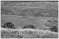 Mustard flowers and rolling hills, Santa Cruz Island. Channel Islands National Park, California, USA. (black and white)