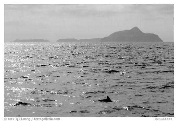 Dolphin fin and Anacapa Islands in background. Channel Islands National Park (black and white)