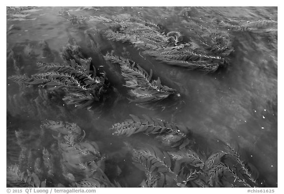 Kelp floating on water, Santa Cruz Island. Channel Islands National Park (black and white)