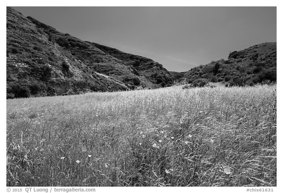 Wildflowers and grasses, Cherry Canyon, Santa Rosa Island. Channel Islands National Park (black and white)