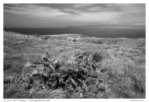 Cactus on marine terrace, Santa Rosa Island. Channel Islands National Park (black and white)