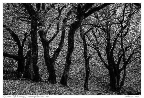 Cloud forest of endemic Island Oak, Santa Rosa Island. Channel Islands National Park (black and white)