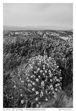 Wildflowers at dusk, Santa Rosa Island. Channel Islands National Park (black and white)