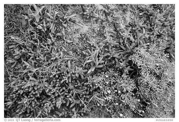 Ground close-up with iceplant and flowers, Santa Rosa Island. Channel Islands National Park (black and white)