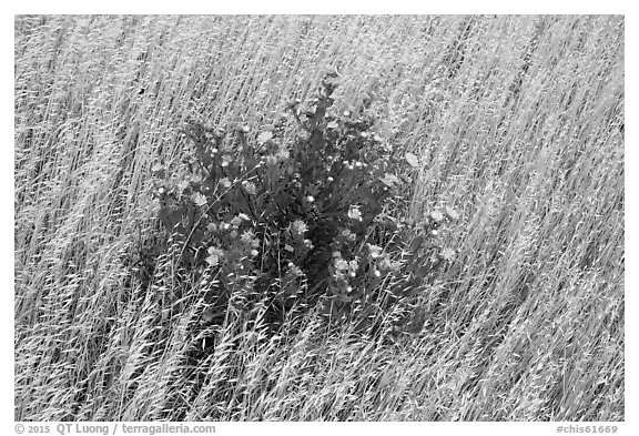 Close-up of flowers and yellow grasses, Santa Rosa Island. Channel Islands National Park (black and white)