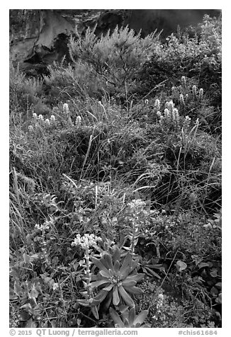 Lush slope with flowers and shrubs in Lobo Canyon, Santa Rosa Island. Channel Islands National Park (black and white)
