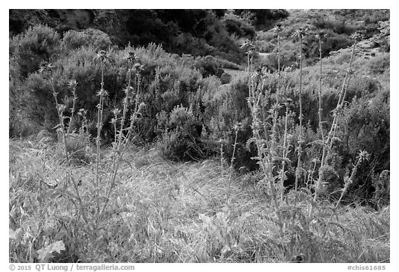 Thristles, Lobo Canyon, Santa Rosa Island. Channel Islands National Park (black and white)