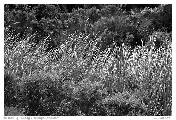 Reeds and green shrubs, Lobo Canyon, Santa Rosa Island. Channel Islands National Park (black and white)
