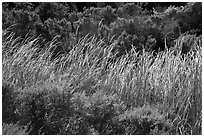 Reeds and green shrubs, Lobo Canyon, Santa Rosa Island. Channel Islands National Park ( black and white)