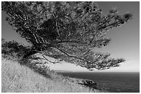 Torrey Pine and Black Point, Santa Rosa Island. Channel Islands National Park ( black and white)