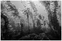 Giant macrocystis kelp anchored on ocean floor, Santa Barbara Island. Channel Islands National Park ( black and white)