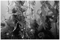 Kelp fronds and pneumatocysts, Santa Barbara Island. Channel Islands National Park ( black and white)