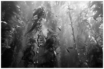 Kelp bed and fish, Santa Barbara Island. Channel Islands National Park ( black and white)