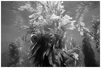 Kelp fronds and reflections, Santa Barbara Island. Channel Islands National Park ( black and white)