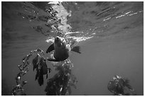 California sea lion swiming sideways, Santa Barbara Island. Channel Islands National Park ( black and white)