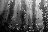 Giant kelp forest, Santa Barbara Island. Channel Islands National Park ( black and white)