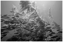 School of fish in kelp forest, Santa Barbara Island. Channel Islands National Park ( black and white)
