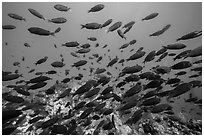 School of fish, Santa Barbara Island. Channel Islands National Park ( black and white)