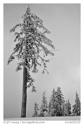 Tall snow-covered pine tree. Crater Lake National Park (black and white)