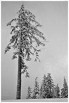 Tall snow-covered pine tree. Crater Lake National Park ( black and white)